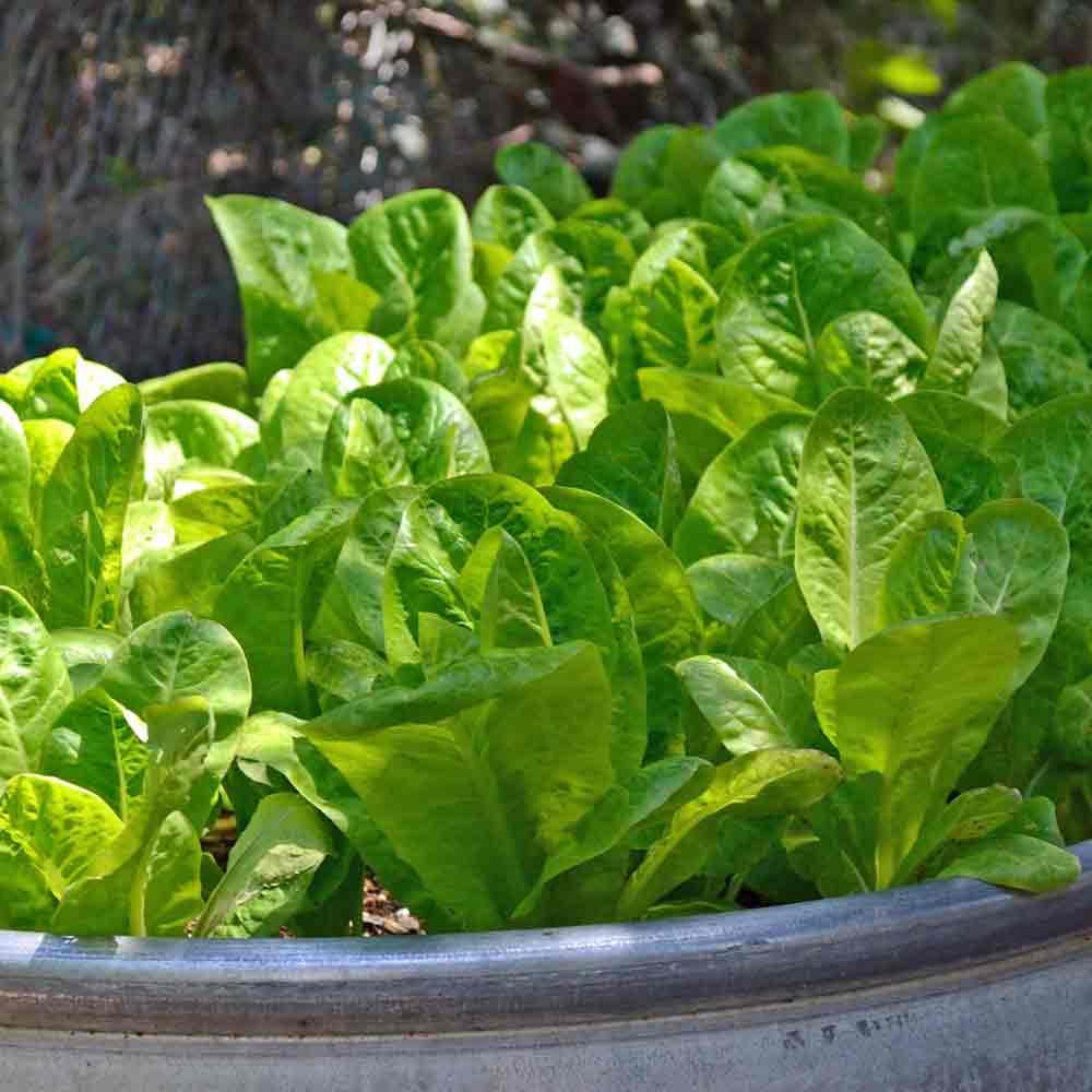 Jericho Lettuce - (Lactuca sativa) in a planter