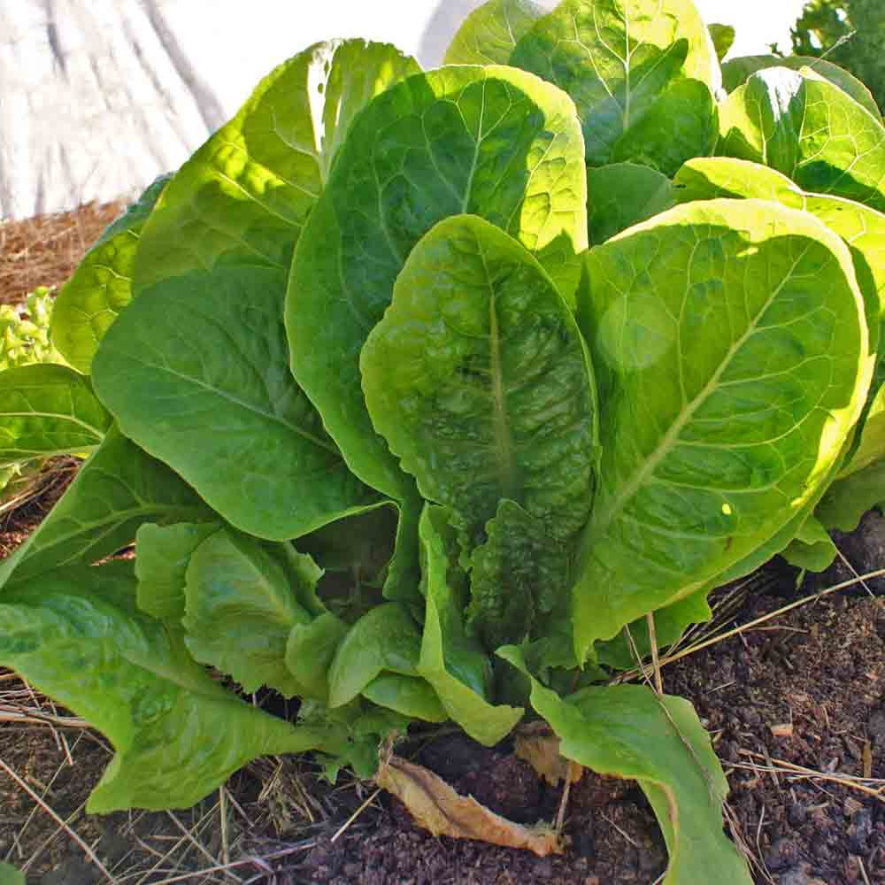 Jericho Lettuce leaves - (Lactuca sativa)