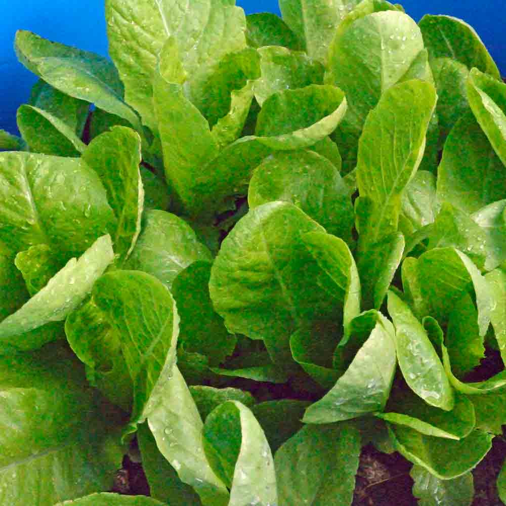 Jericho Lettuce - (Lactuca sativa)
