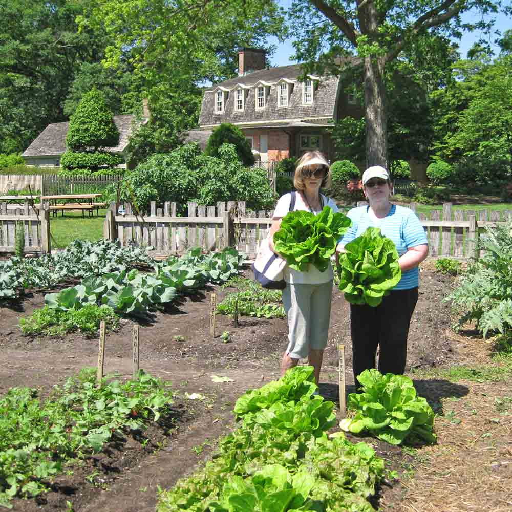Heads of Jericho Lettuce - (Lactuca sativa) with Virginia Beach Master Gardeners at Francis Land House historical site