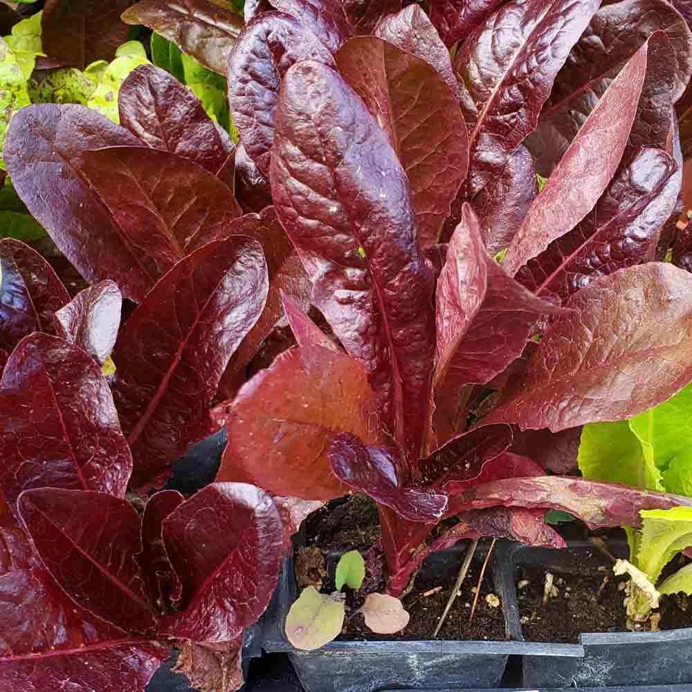 Red Romaine Lettuce Seedlings - (Lactuca sativa)