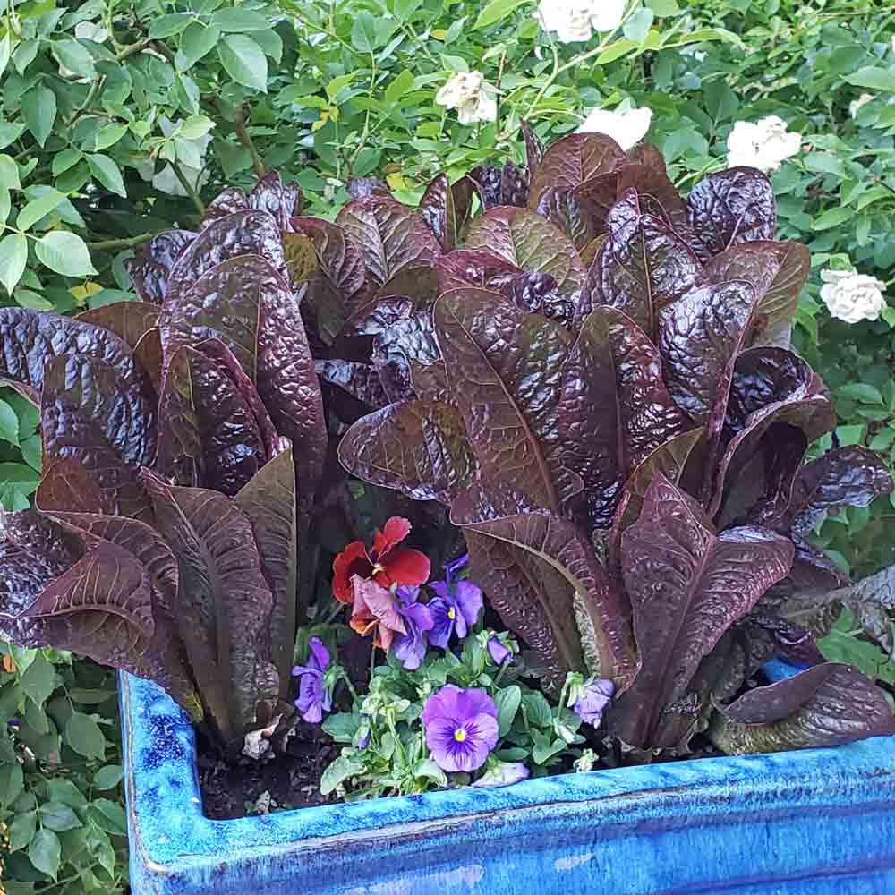 Red Romaine Lettuce in a planter - (Lactuca sativa)