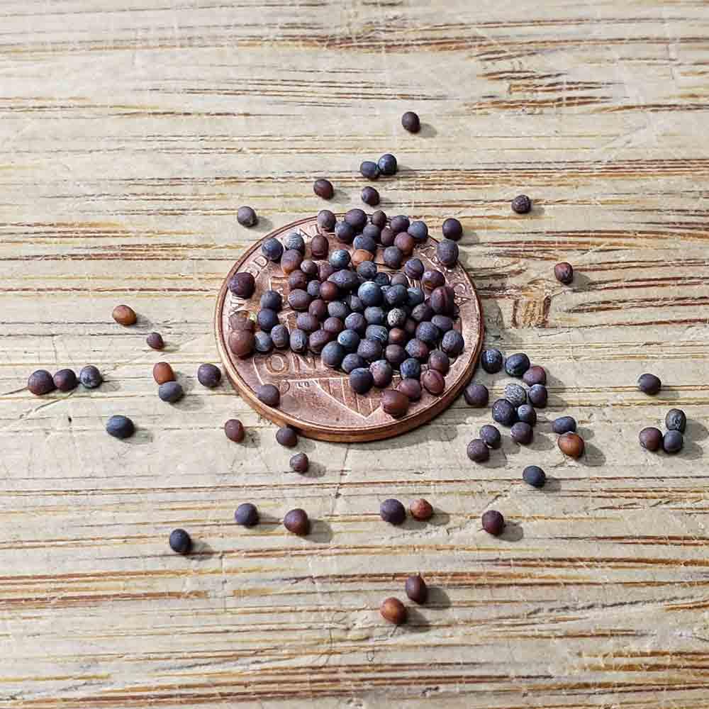Heirloom Mizuna Mustard Seeds - (Brassica rapa)