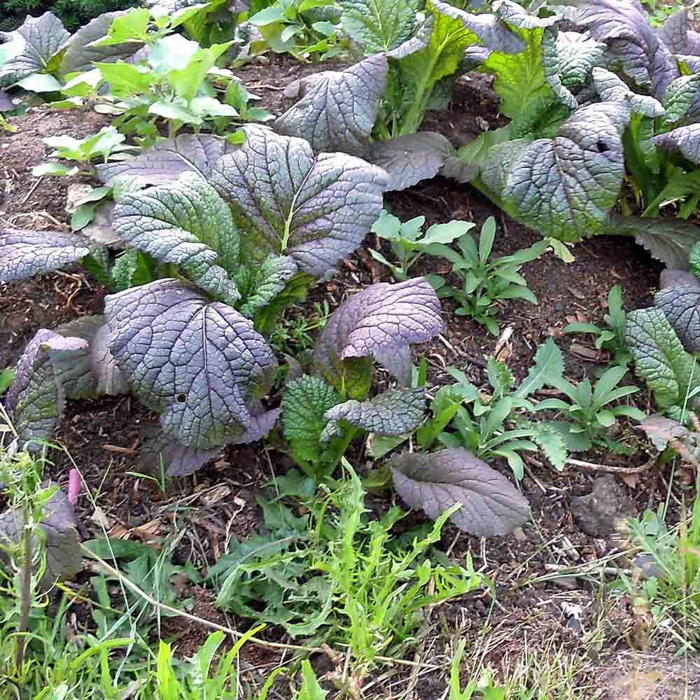Red Giant Mustard plant and leaves  - (Brassica juncea)