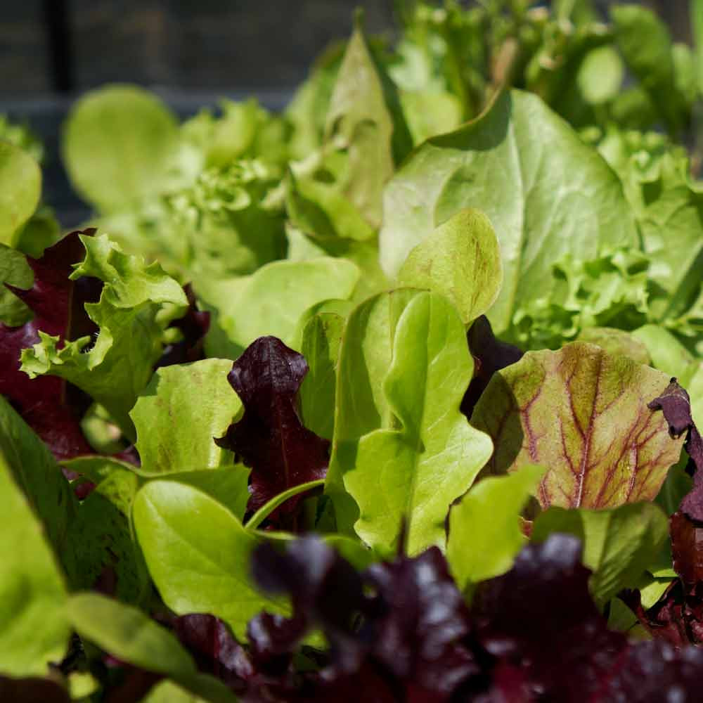 Glorious Greens Lettuce Mix - (Lactuca sativa)