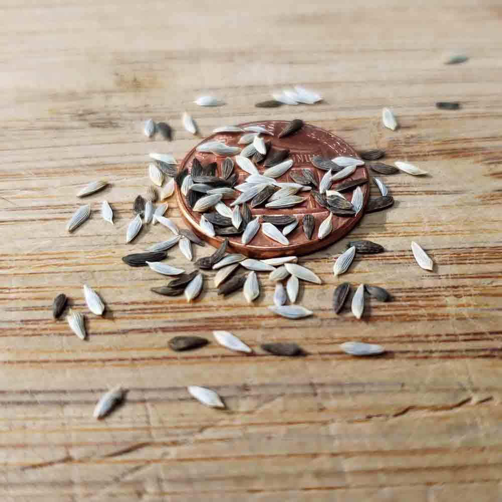 Gourmet Lettuce Heirloom Seed Blend - (Lactuca sativa)