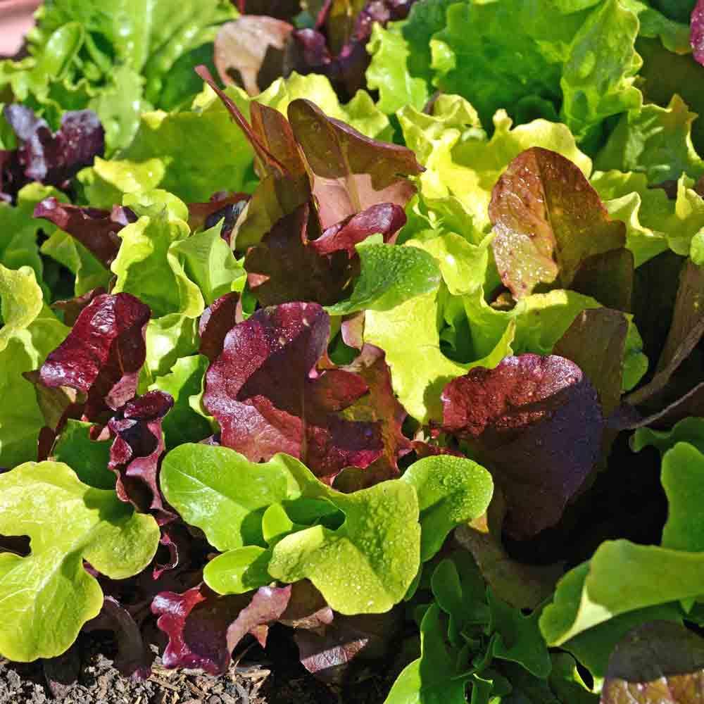 Gourmet Lettuce Starter Pack