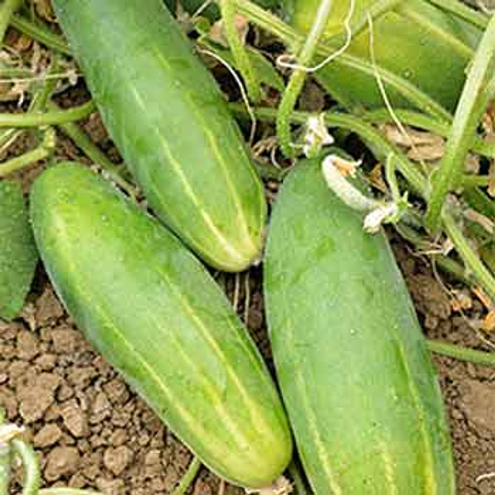 Beginning Gardeners Collection - Everbearing Cucumber