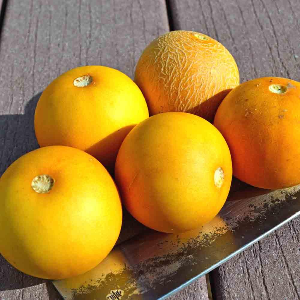Fresh picked Vine Peach / Mango Melon fruit - (Cucumis melo var.chito)
