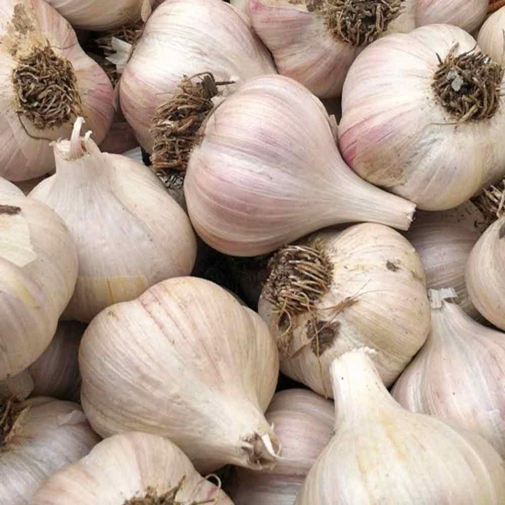 Organic German White Heirloom Garlic bulbs- (Allium sativum)