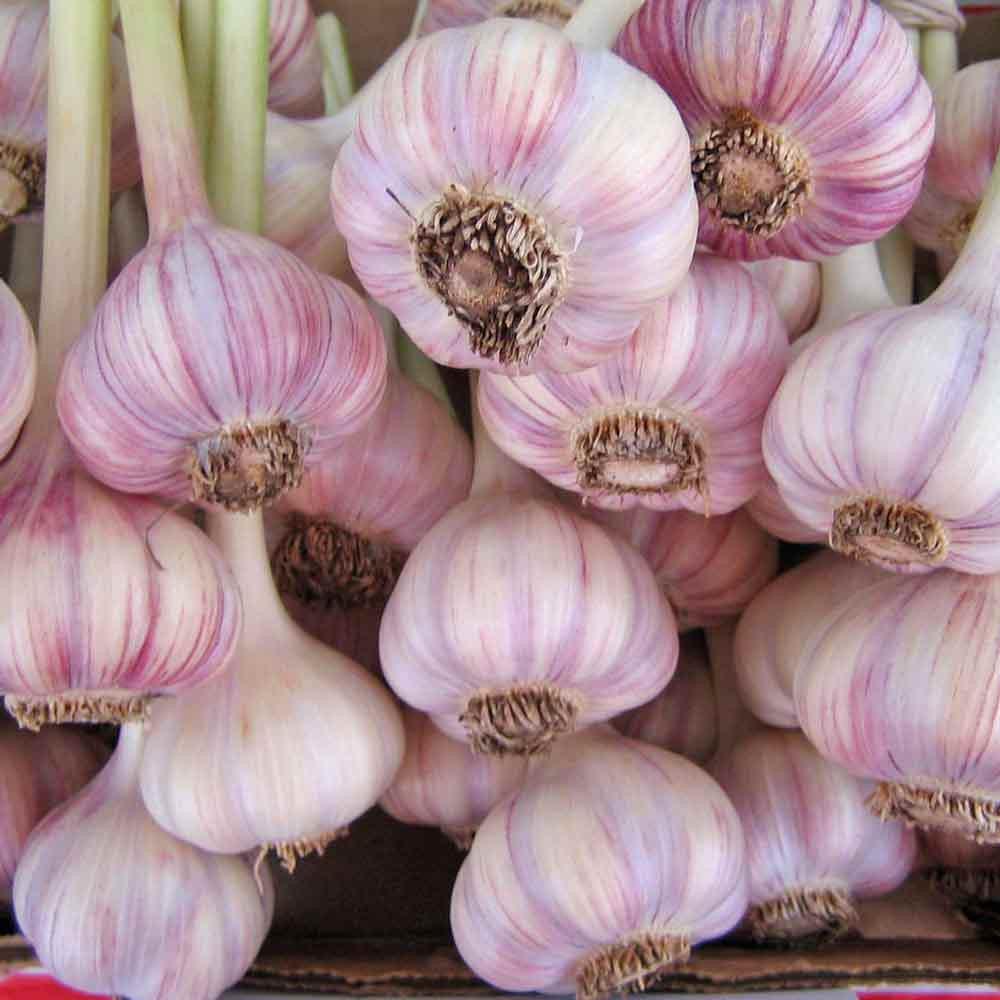 Organic Chesnok Red Garlic - (Allium sativum)