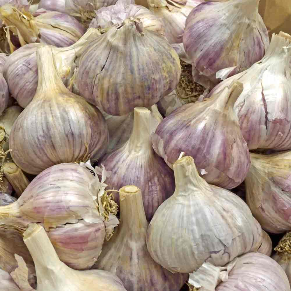 Organic Chesnok Red Heirloom Garlic Bulbs - (Allium sativum)