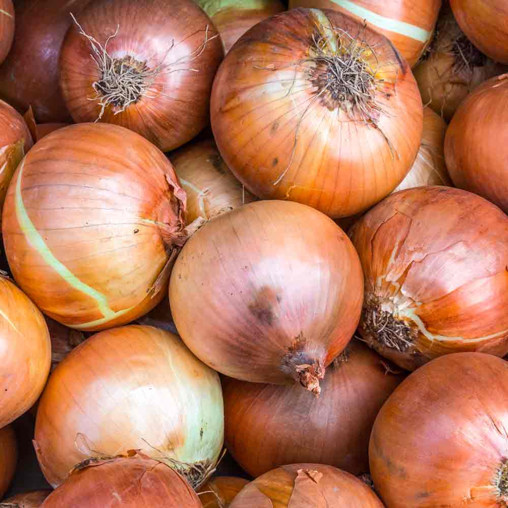 Yellow Stuttgarter Onions - (Allium cepa)