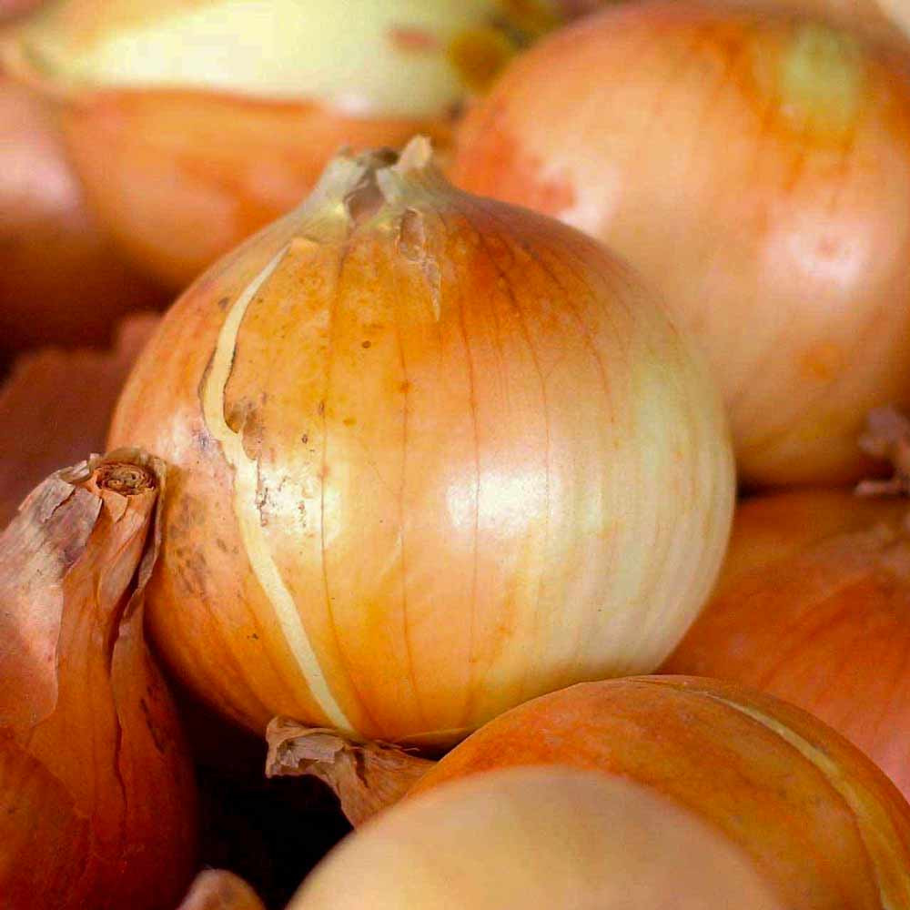 Sweet Candy Onions - (Allium cepa)