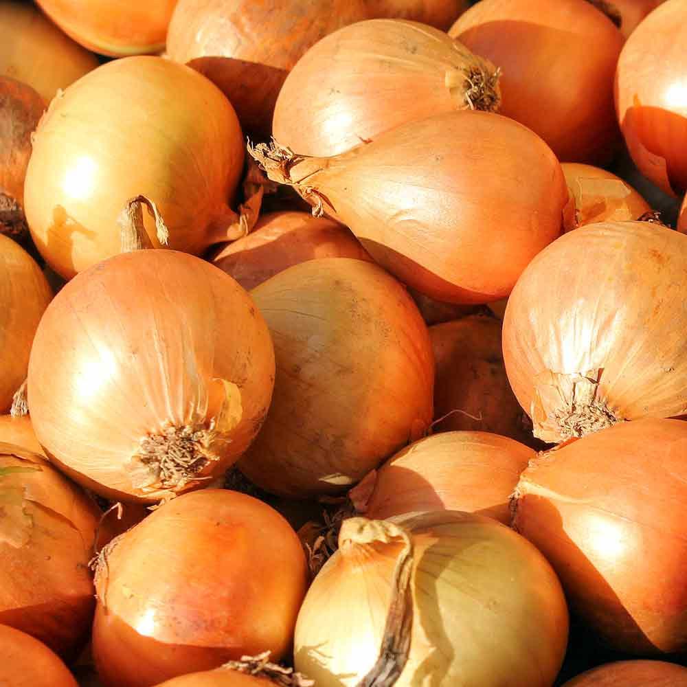 White Ebenezer Onions - (Allium cepa)