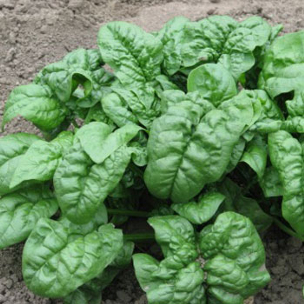 Cool Season Greens Collection - Giant Nobel Spinach
