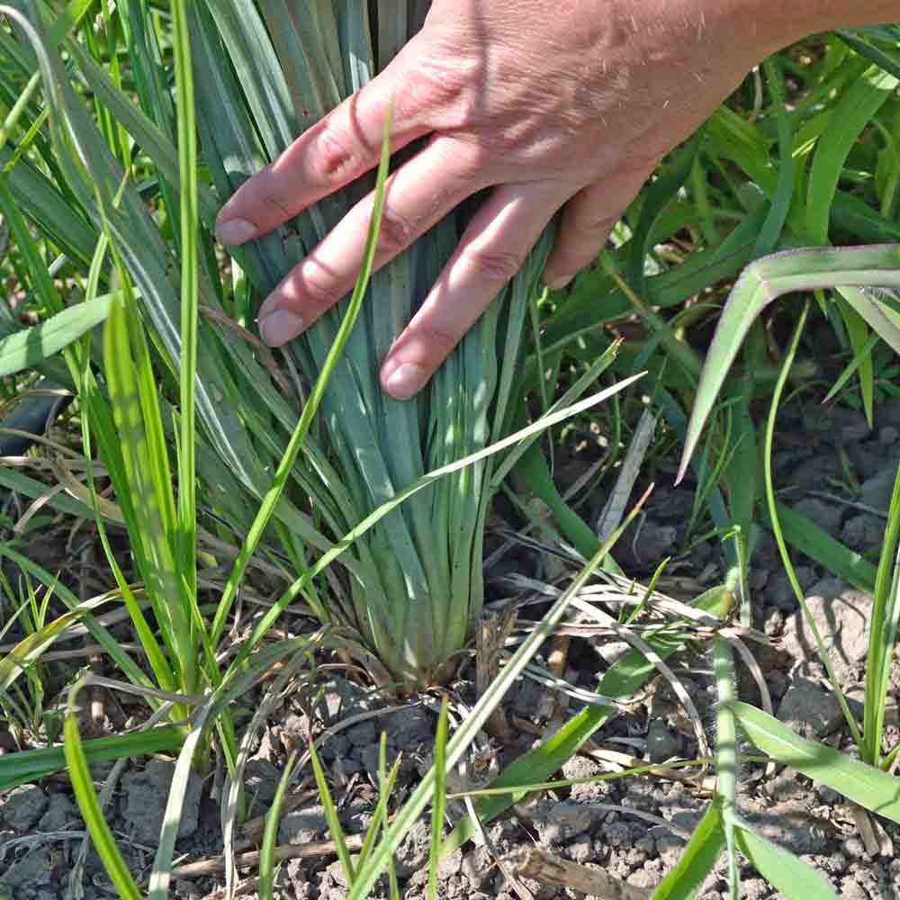 Salsify (Oyster Plant) - (Tragopogon porrifolius)
