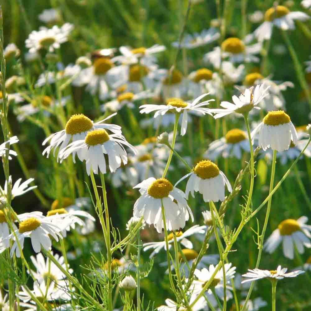 Aromatherapy Garden Heirloom Seed Collection - German Chamomile