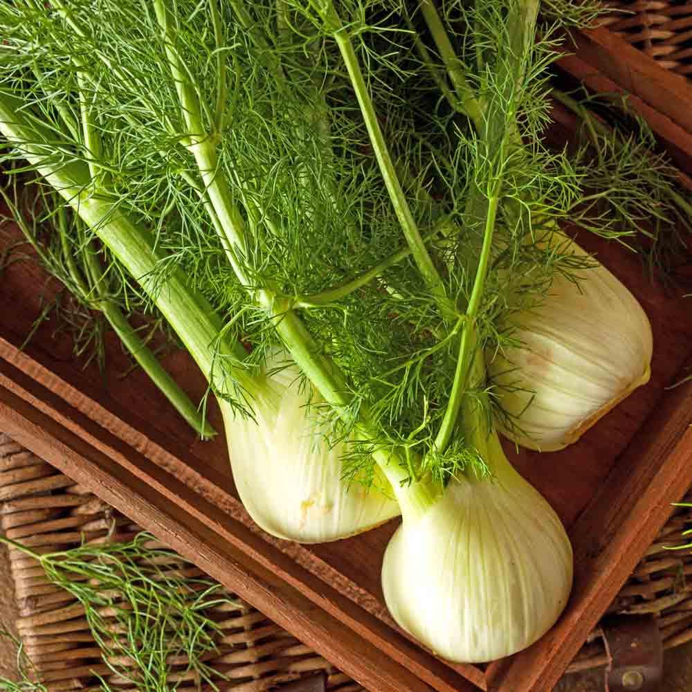 Aromatherapy Garden Heirloom Seed Collection - Romanesco Fennel