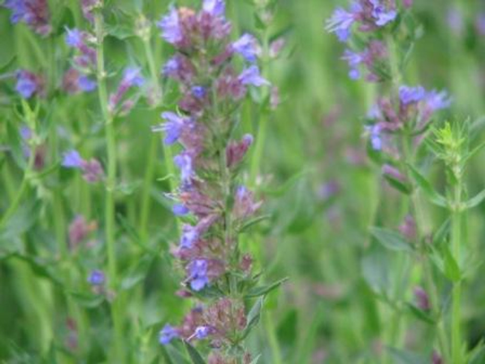 Time for Tea Collection - Anise Hyssop