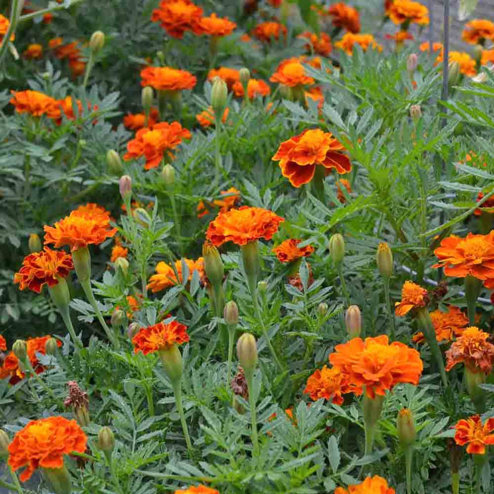 Butterfly Garden Seed Collection - French Marigold-Brocade Mix