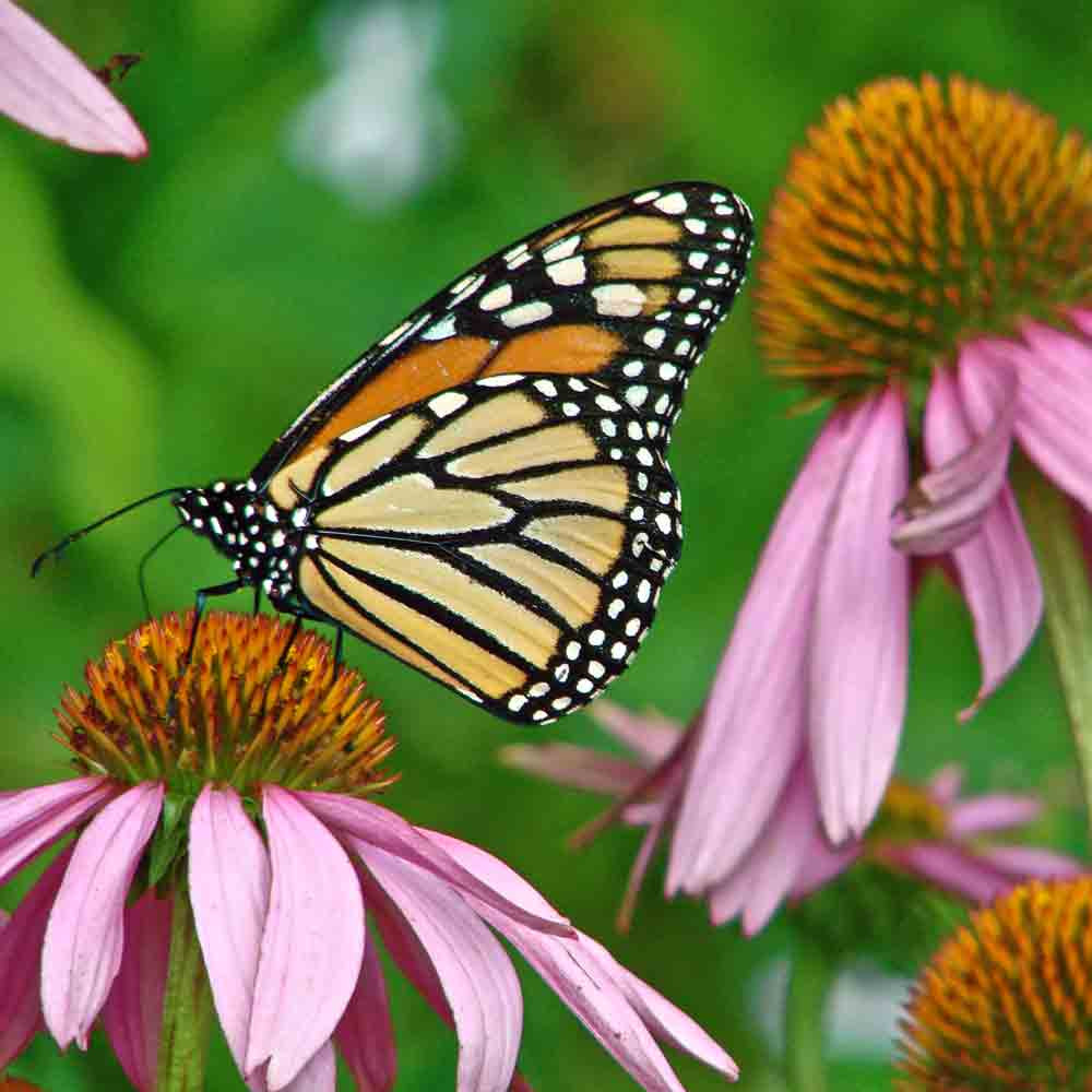 Butterfly Garden Seed Collection - Monarch on Coneflower