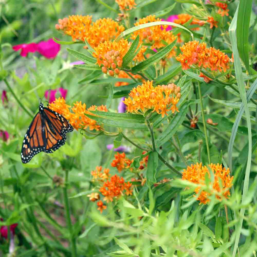 Butterfly Garden Seed Collection - Butterfly Milkweed