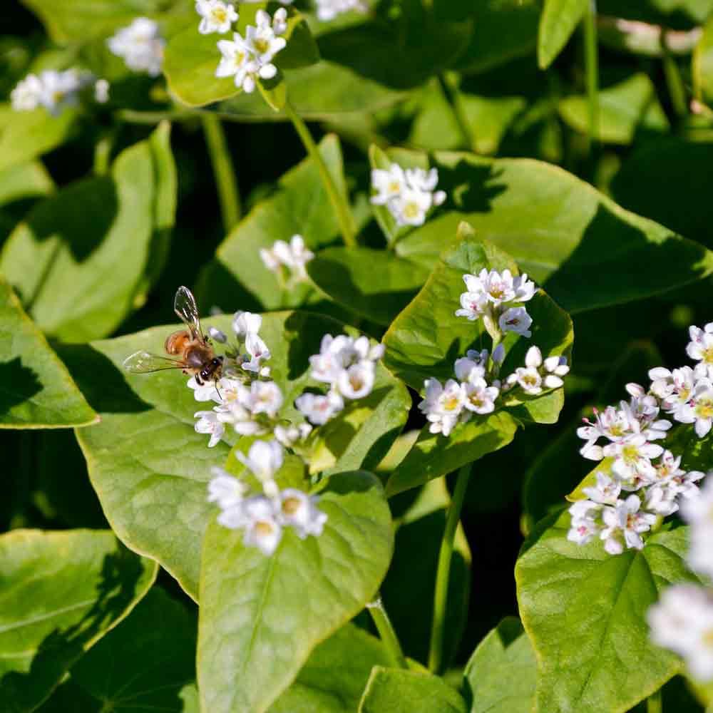 Bee on Buckwheat flowers - (Fagopyrum esculentum)