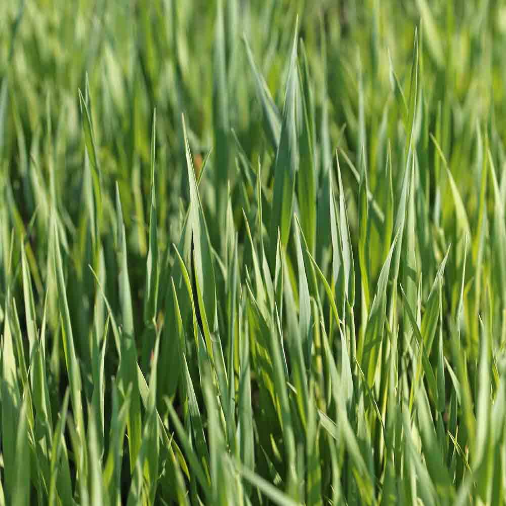 Cereal Oats Cover Crop - (Avena sativa)