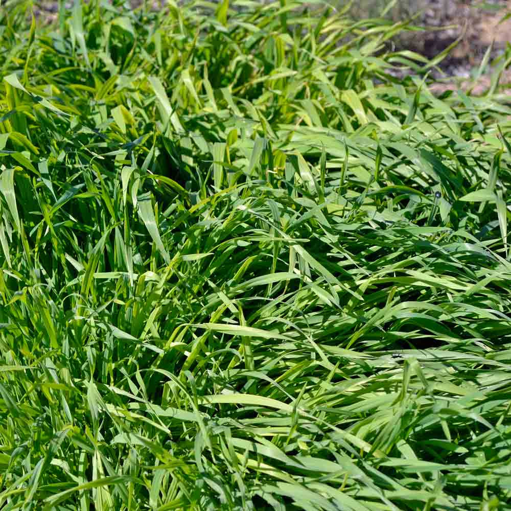 Cereal Oats Cover Crop - (Avena sativa)