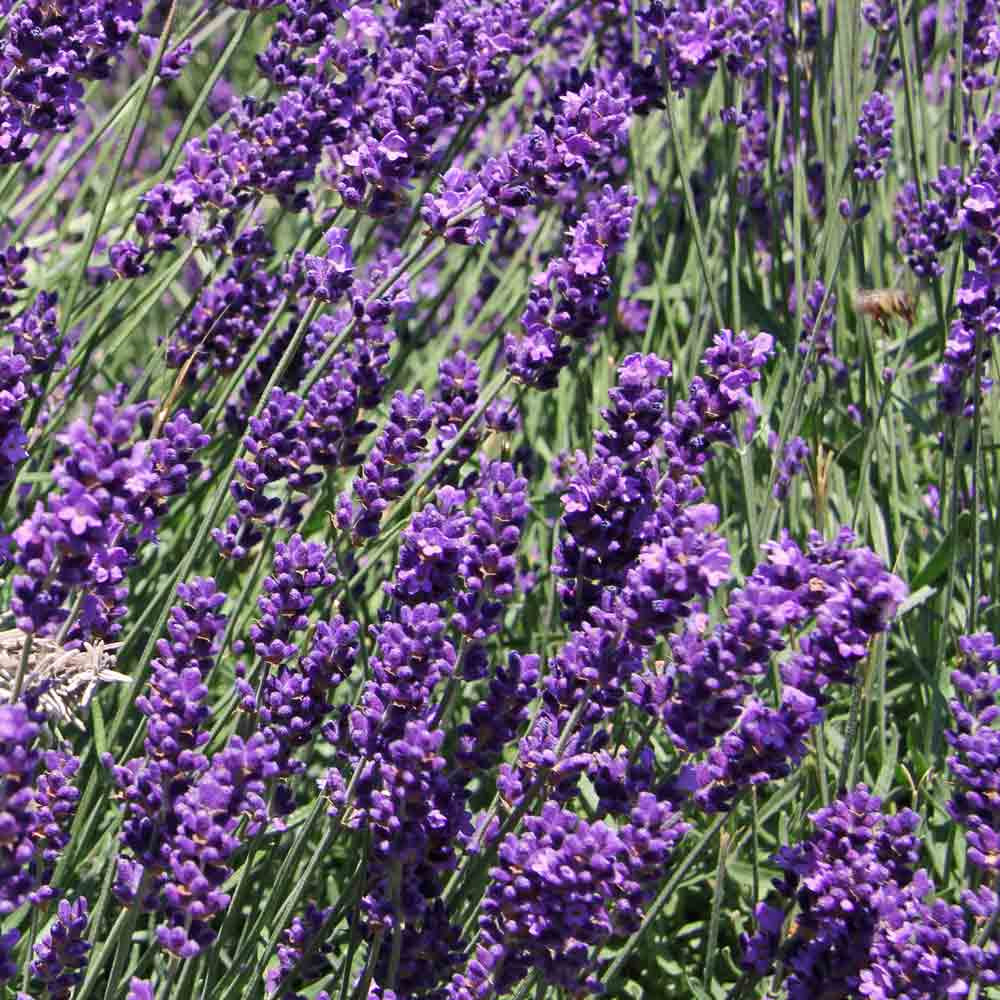 Lavender flowers for Shea butter