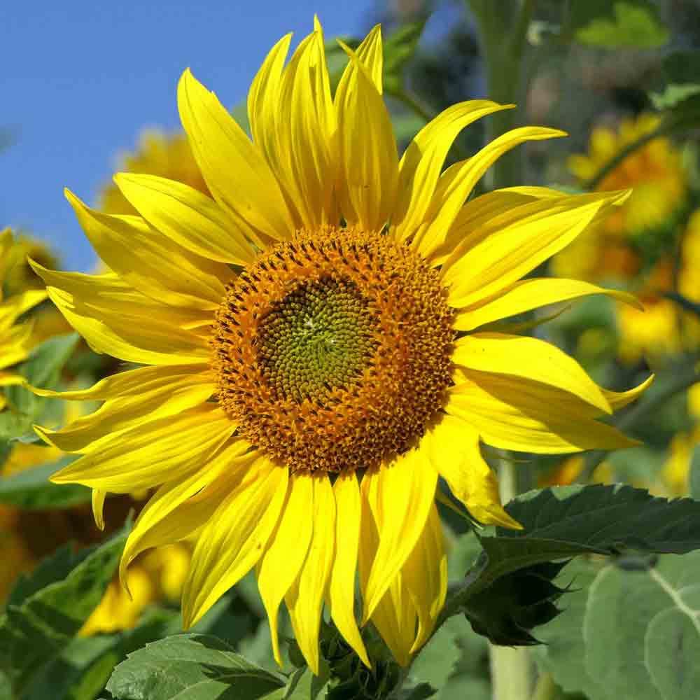 Skyscraper Sunflower  - (Helianthus annuus)