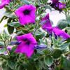Wild Petunia - (Petunia integrifolia)