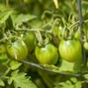Green Principe Borghese Tomatoes - (Lycopersicon lycopersicum)