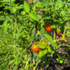 Ripening Principe Borghese Tomatoes - (Lycopersicon lycopersicum)