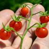 Sara's Galapagos Tomato - (Lycopersicon lycopersicum)