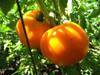 Jubilee Tomato - (Lycopersicon lycopersicum)