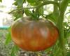 Cherokee Purple Tomato - (Lycopersicon lycopersicum)