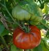 Red Brandywine Tomato - (Lycopersicon lycopersicum)