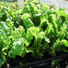 Backyard Chickens Collection - Fordhook Giant Swiss Chard