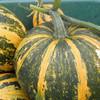Lady Godiva Pumpkin - (Cucurbita pepo)