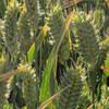 Pima Club Wheat - (Triticum aestivum)