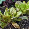 Freckles Lettuce - (Lactuca sativa)