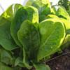 Gourmet Lettuce Starter Pack - Jericho Lettuce