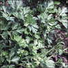 Beginning Gardeners Collection - Giant of Italy Parsley