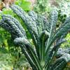 Cool Season Greens Collection - Lacinato Kale