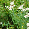Time for Tea Collection - Virginia Mountain Mint