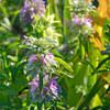 Butterfly Garden Seed Collection - Lemon Bee Balm