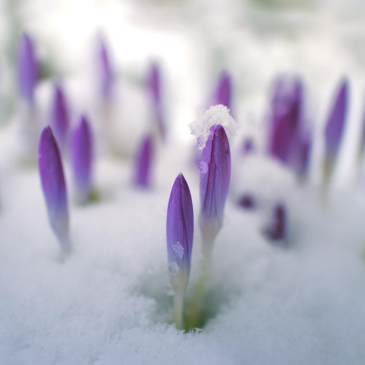 Image result for 2 crocuses in the snow