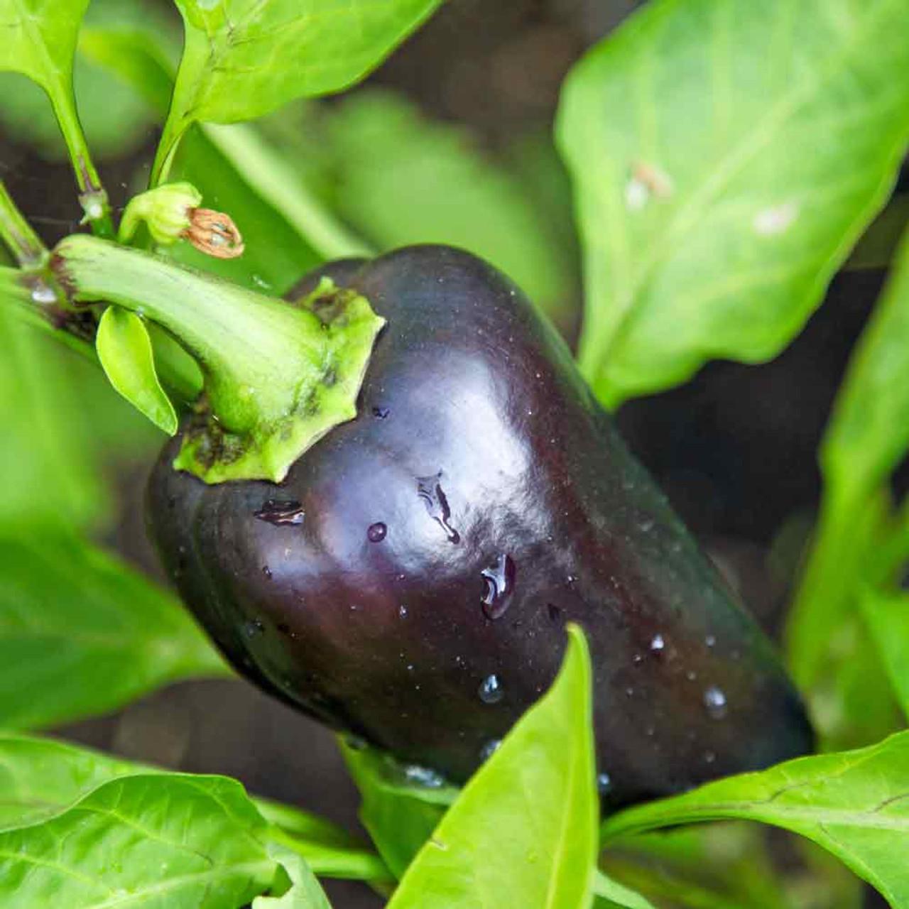 Heirloom Pepper 25 Seeds Purple Beauty